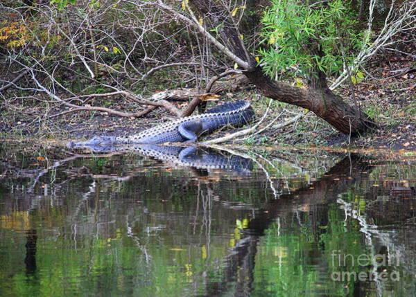 Photograph - Morris Bridge Gator by Carol Groenen