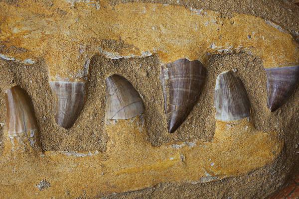 Cretaceous Wall Art - Photograph - Mosasauras Teeth by Garry Gay