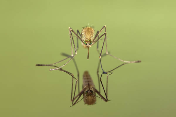 Photograph - Mosquito Culicidae Freshly Hatched by Ingo Arndt