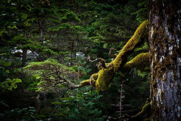 Photograph - Mossy Branch by Adam Pender