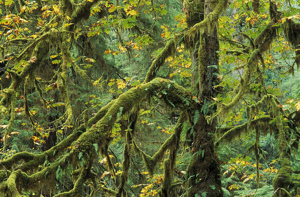 Olympic Club Photograph - Mossy Maple by Greg Vaughn