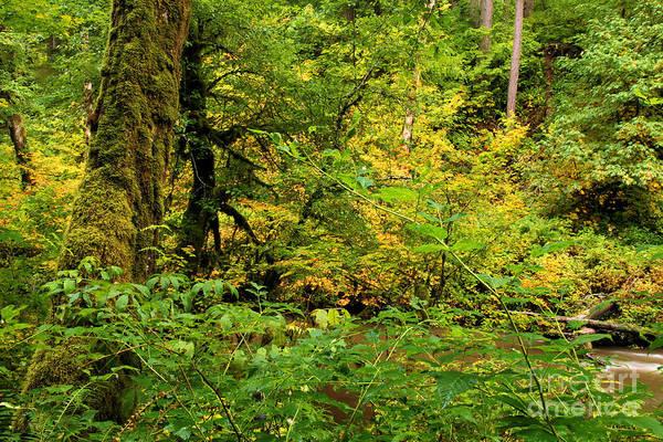Photograph - Mossy Rainforest by Adam Jewell