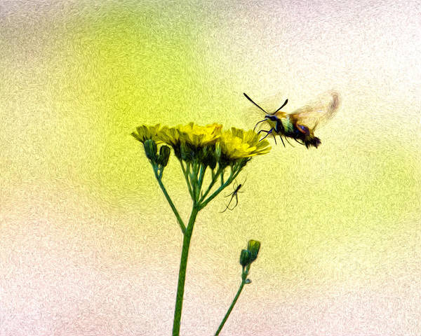 Hemaris Photograph - Moth And The Spider by Bill Tiepelman
