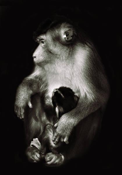 Bonobos Photograph - Mother by Ivan Vukelic