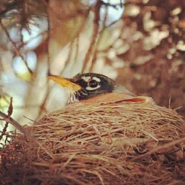 Bird Photograph - mother #nest #robin #bird #indiana by Melissa Wyatt