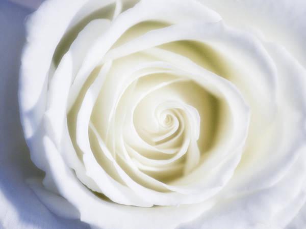 Filoli Photograph - Mother's White Rose by Linda Dunn