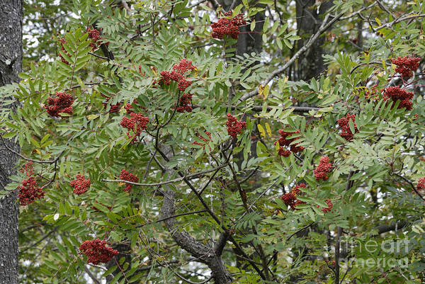 Photograph - Mountain Ash by Randy Bodkins