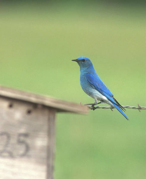 Photograph - Mountain Bluebird by Jan Piet