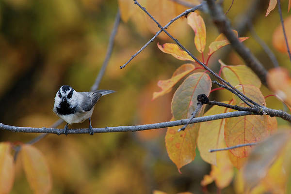 Mountain Chickadee 1 Art Print