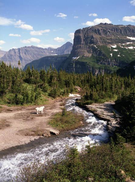 Photograph - Mountain Goat 3 by Lee Santa