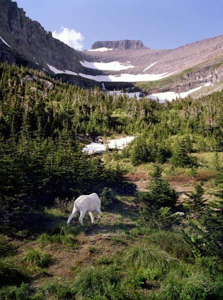 Photograph - Mountain Goat 4 by Lee Santa