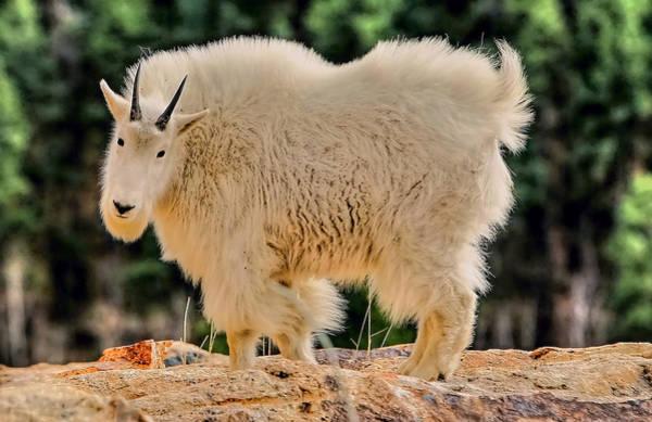 Photograph - Mountain Goat by Paul Svensen