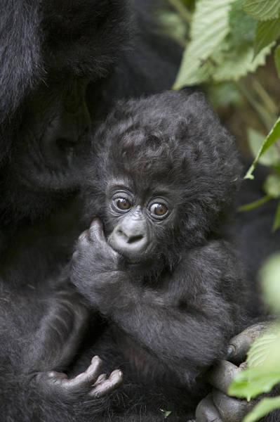 Photograph - Mountain Gorilla 3 Month Old Infant by Suzi Eszterhas