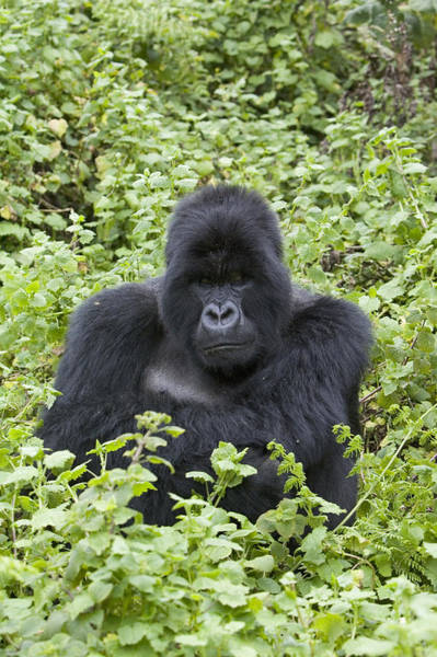 Equatorial Africa Wall Art - Photograph - Mountain Gorilla Large Silverback Male by Suzi Eszterhas