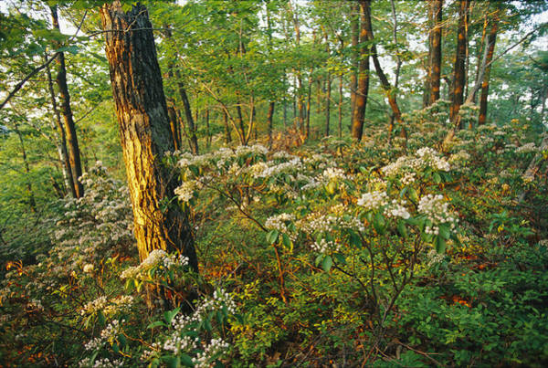 Kalmia Photograph - Mountain Laurel Blooming In A Hyner by Skip Brown
