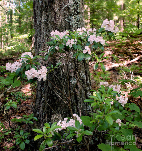 Kalmia Photograph - Mountain Laurel Bush by Mark Dodd