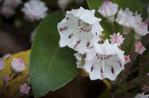 Kalmia Photograph - Mountain Laurel by Daniel Milligan
