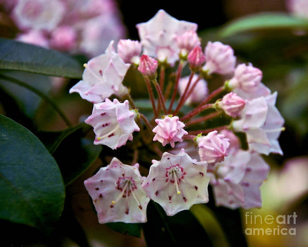 Kalmia Photograph - Mountain Laurel Flowers 3 by Mark Dodd