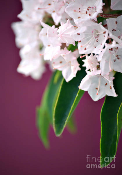 Kalmia Photograph - Mountain Laurel by HD Connelly