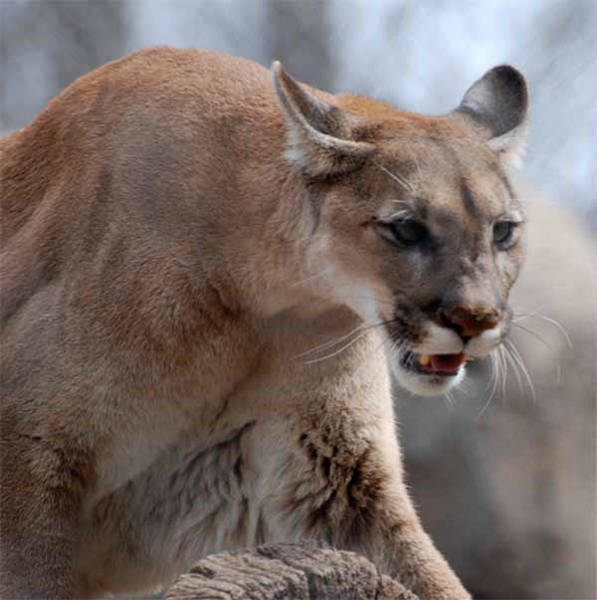 Catamount Photograph - Mountain Lion by Paul Ward