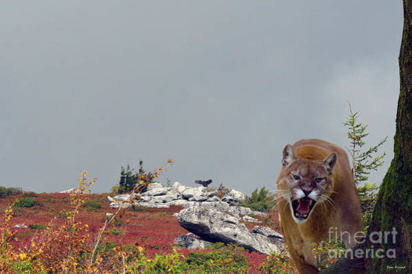 Photograph - Mountain Lion Protecting His Kill by Dan Friend