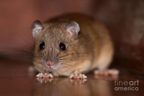 Atherton Tablelands Photograph - Mouse by Johan Larson