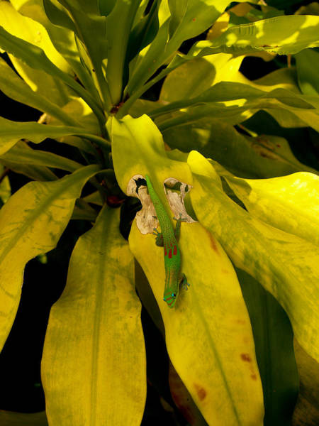 Photograph - Mr Gecko by Randy Sylvia