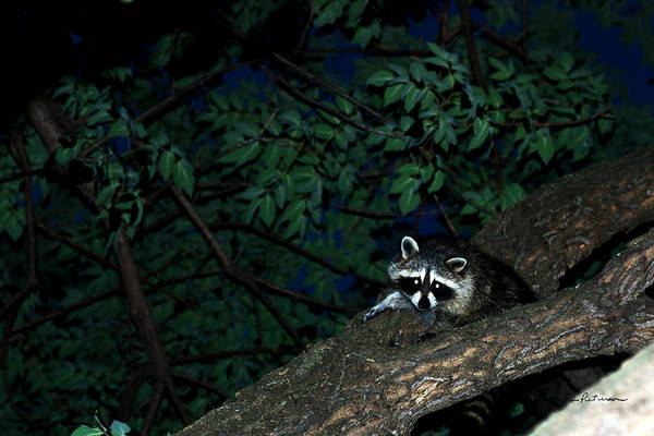 Photograph - Mr. Raccon by Edward Peterson