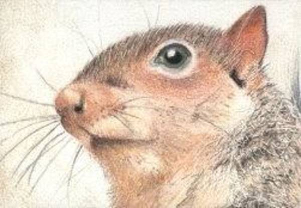 Drawing - Mr. Squirrel - Aceo by Ana Tirolese