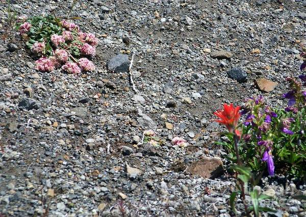 Photograph - Mt St Helens Volcano Flowers by Charles Robinson