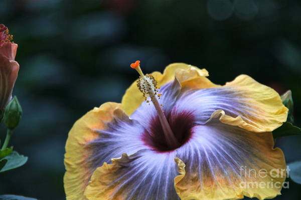 Photograph - Multicolor Hibiscus Flower by Byron Varvarigos