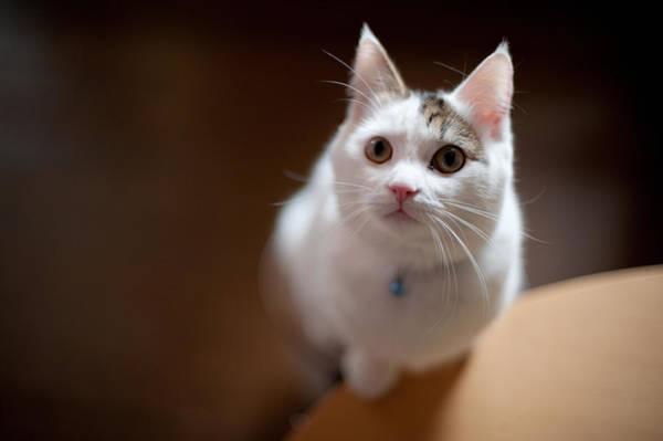 Okayama Prefecture Photograph - Munchkin Kitten Looking Up by Nazra Zahri