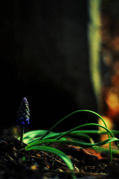 Photograph - Muscari - Grape Hyacinth by Rebecca Sherman
