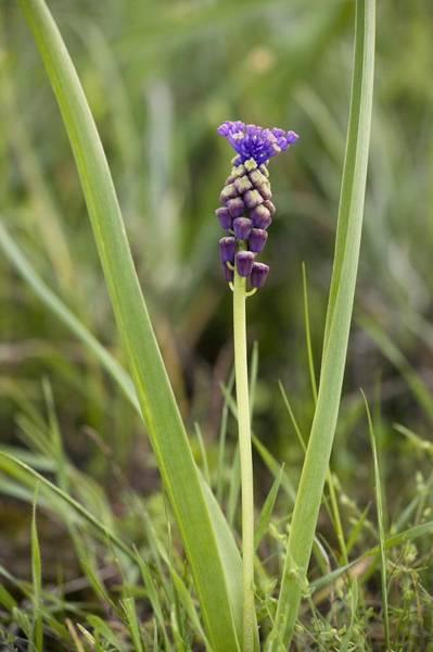 Wild Grape Photograph - Muscari Flower (muscari Comosum) by Bob Gibbons