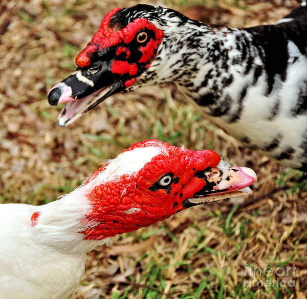 Muscovy Photograph - Muscovy Ducks by Kaye Menner