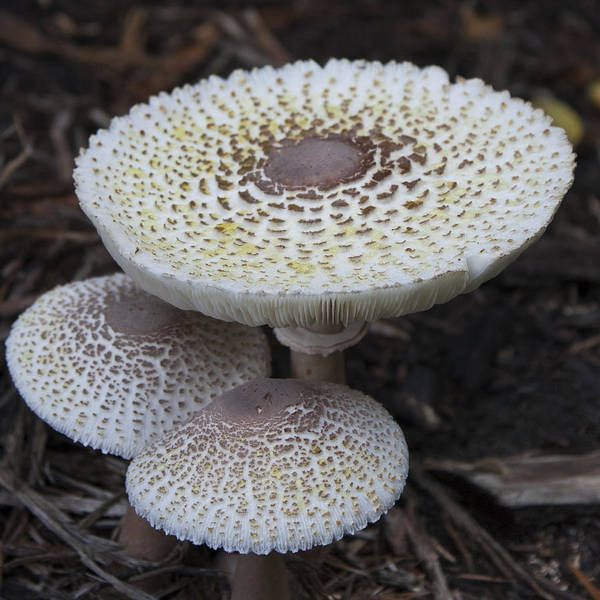 Shrooms Photograph - Mushroom Trio Squared by Teresa Mucha