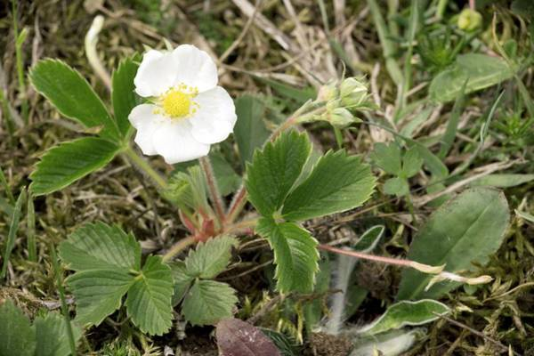 Bicolour Photograph - Musk Strawberry (fragaria Moschata) by Bob Gibbons