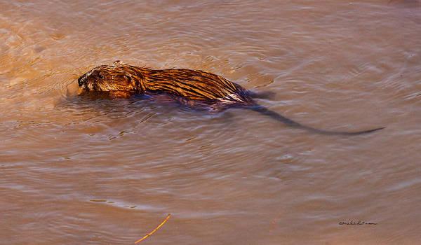 Photograph - Muskrat Swiming by Edward Peterson
