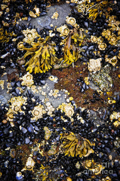 Photograph - Mussels And Barnacles At Low Tide by Elena Elisseeva