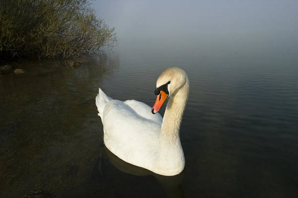 Photograph - Mute Swan Cygnus Olor On Lake, Bavaria by Konrad Wothe