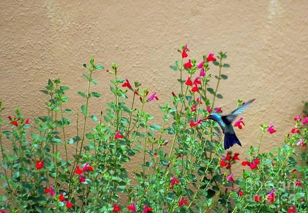 Photograph - My Little Hummingbird by John  Kolenberg