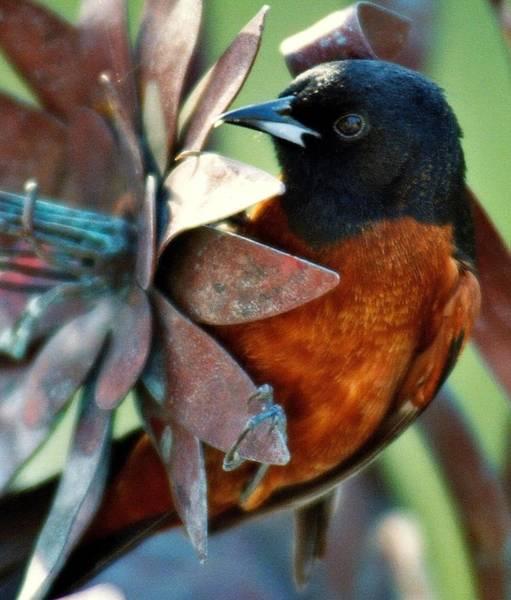 Bird Watcher Photograph - My Orange Taniger by Karen Wiles