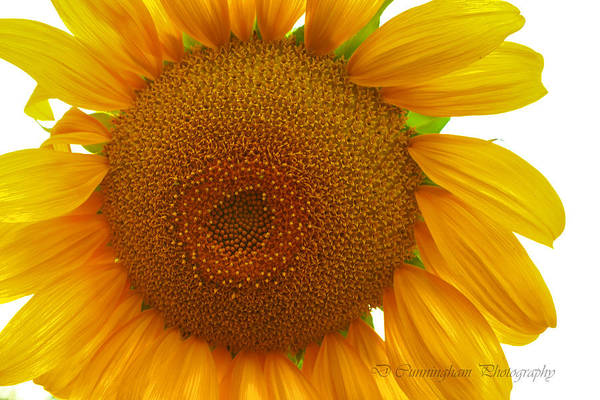 Photograph - My Sunflower by Dorothy Cunningham