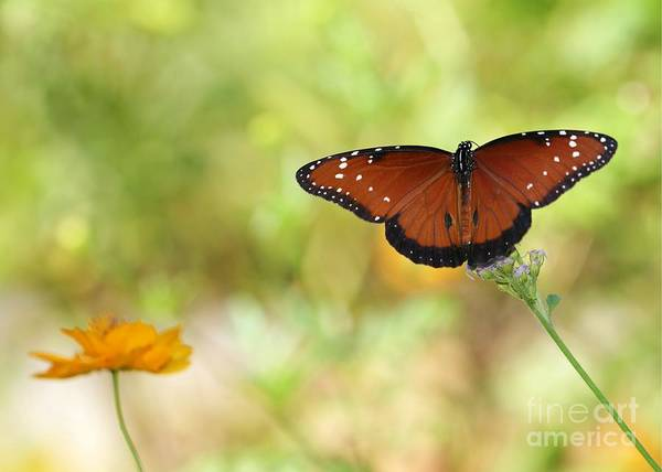 Photograph - Mystical Queen Butterfly by Sabrina L Ryan