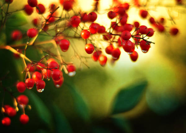 Photograph - Nandina Sunrise by Rebecca Sherman