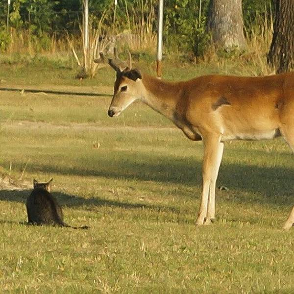 Wall Art - Photograph - #nature #deer #cat #catfight #wildlife by Dusty Anderson