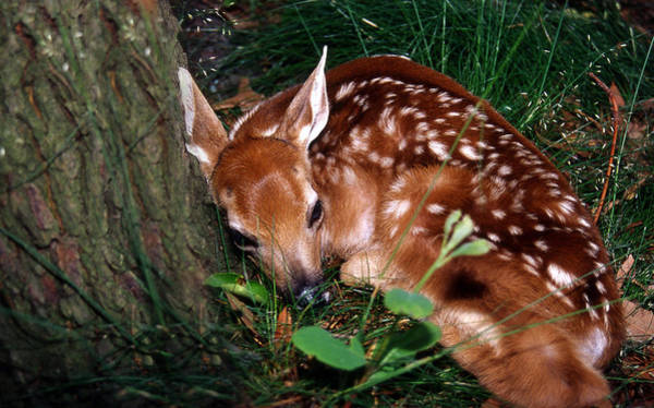 White Tailed Deer Photograph - Nature's Precious Creation by Skip Willits