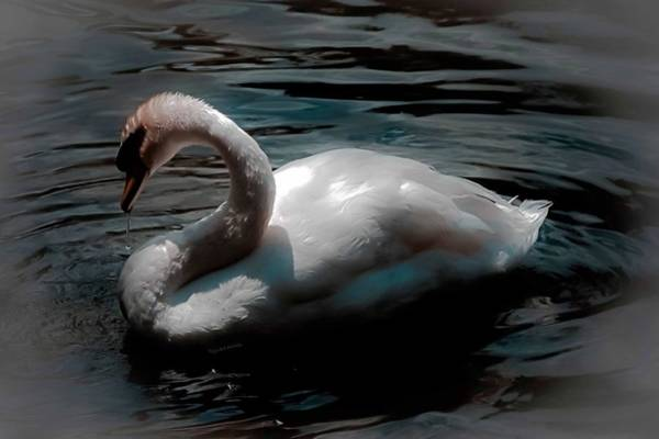 Swan Neck Photograph - Neath The Glow Of The Moonlight by DigiArt Diaries by Vicky B Fuller