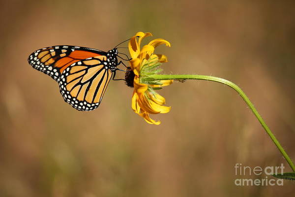 Photograph - Nectar Delight by Adam Jewell