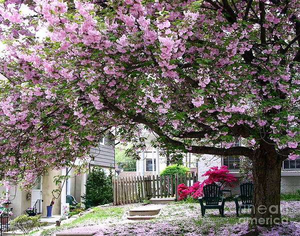 Photograph - Neighborhood Cherry Tree by Byron Varvarigos